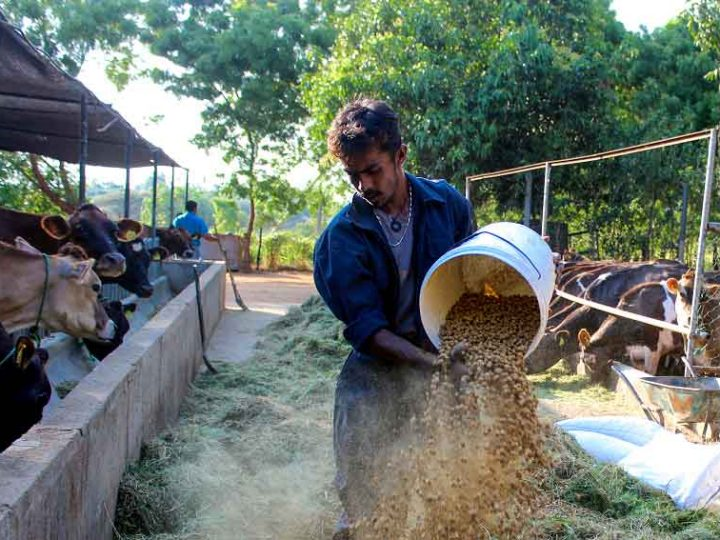 An-employee-preparing-the-feed-for-the-Cattle
